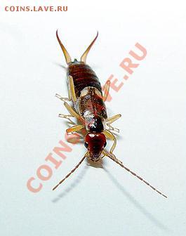 Тараканы - 265px-Forficula_auricularia