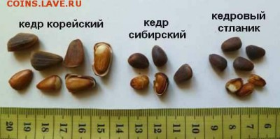 Орешки - orehi-kedrovyh-sosen